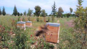 En action pour la réintroduction de l'abeille endémique